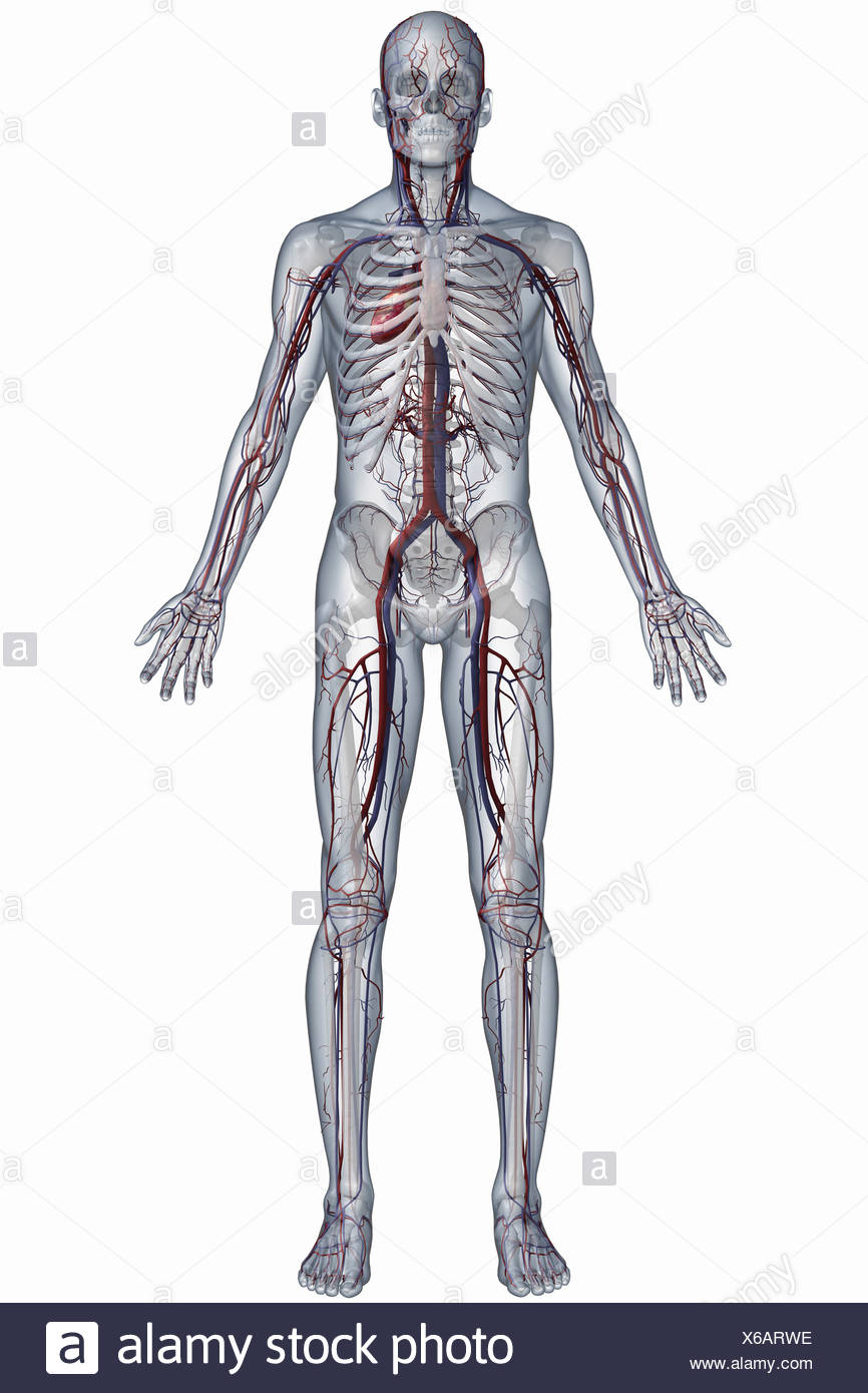 Full Body View Of The Cardiovascular System Stock Photo 279292090