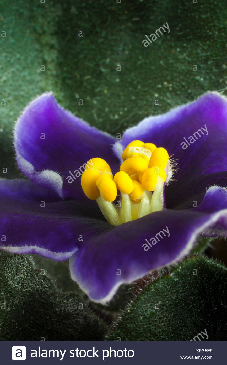 African violet a saintpaulia cultivar with purple flowers edged african violet a saintpaulia cultivar with purple flowers edged with white around stubby yellow tipped stamen close view of one flower with leaves mightylinksfo
