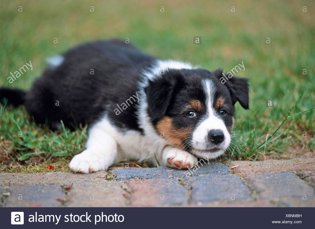 Border collie x australian shepherd