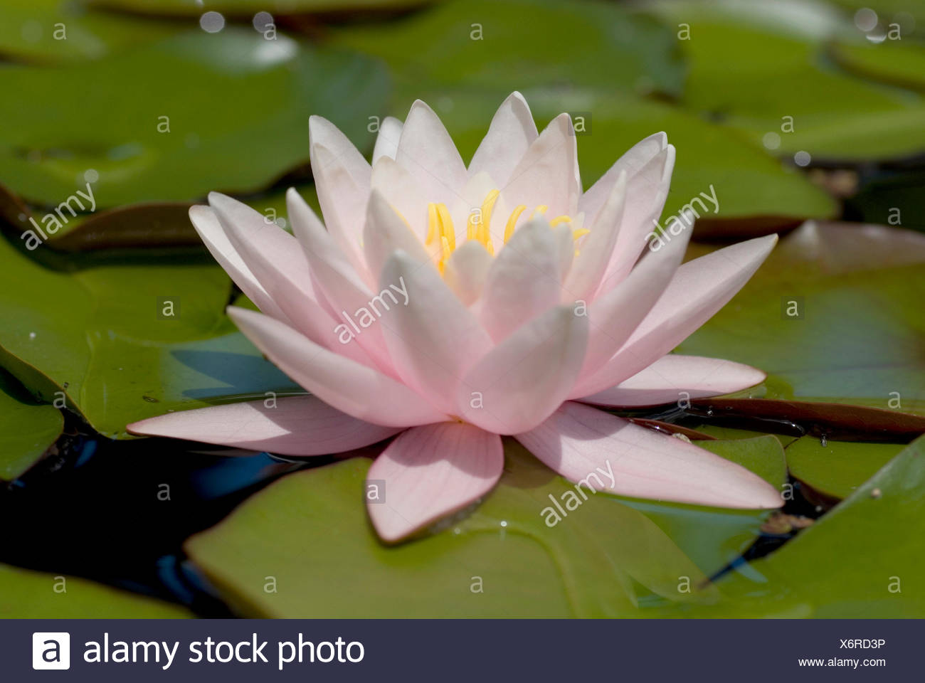 Water Lily Pond Lily Nymphaea Spec Single Flower Stock Photo