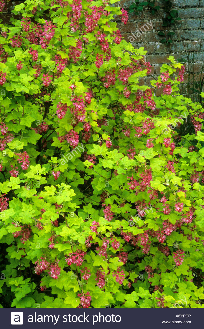 Ribes sanguineum brocklebankii flowering currant bush pink red ribes sanguineum brocklebankii flowering currant bush pink red flowers yellow green leaves foliage garden plant mightylinksfo
