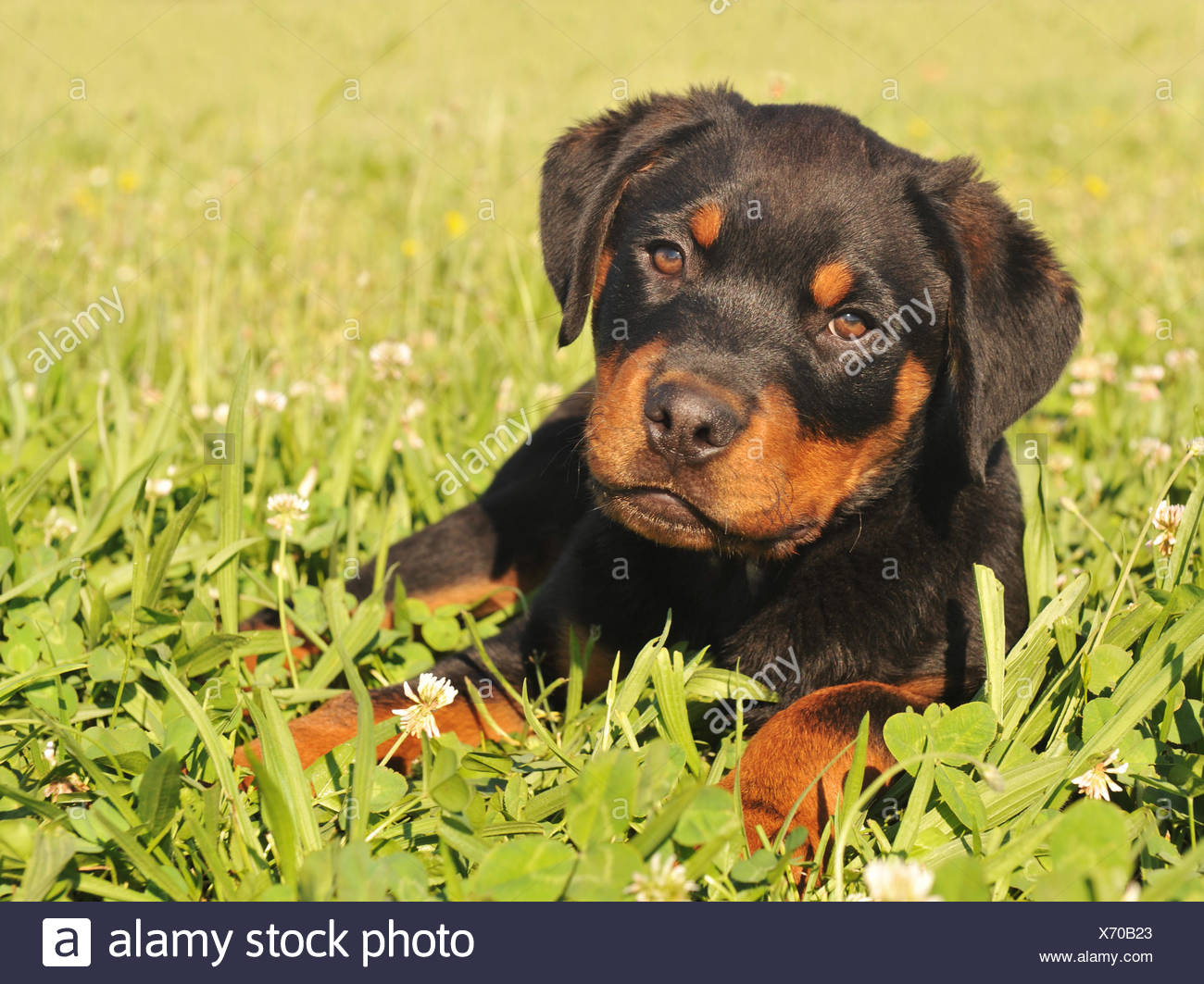 Pet Dog Puppy Cub Baby Rottweiler Young Younger Garden Animal Flower