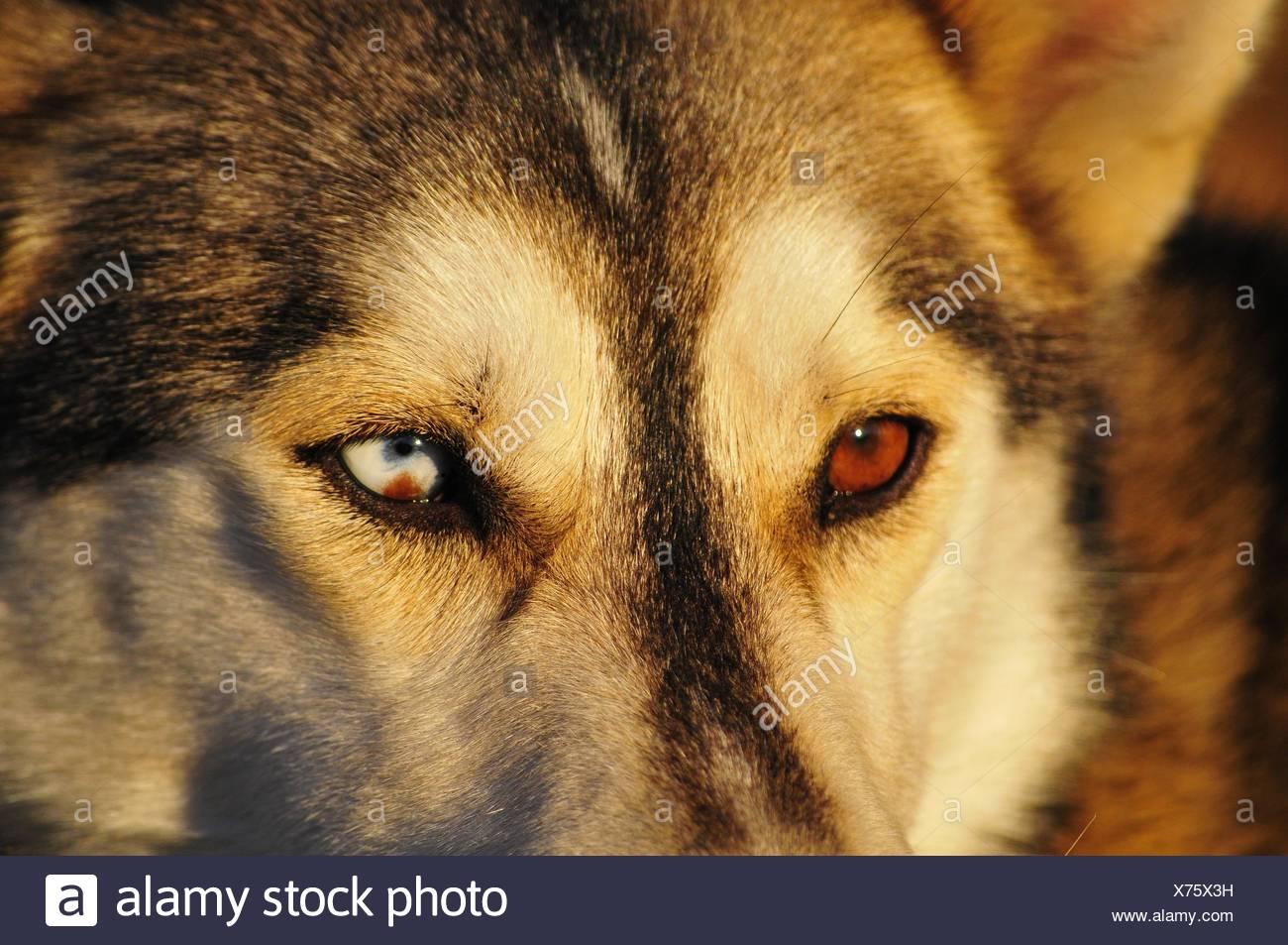 Siberian Husky Eyes Stock Photo 279798725 Alamy