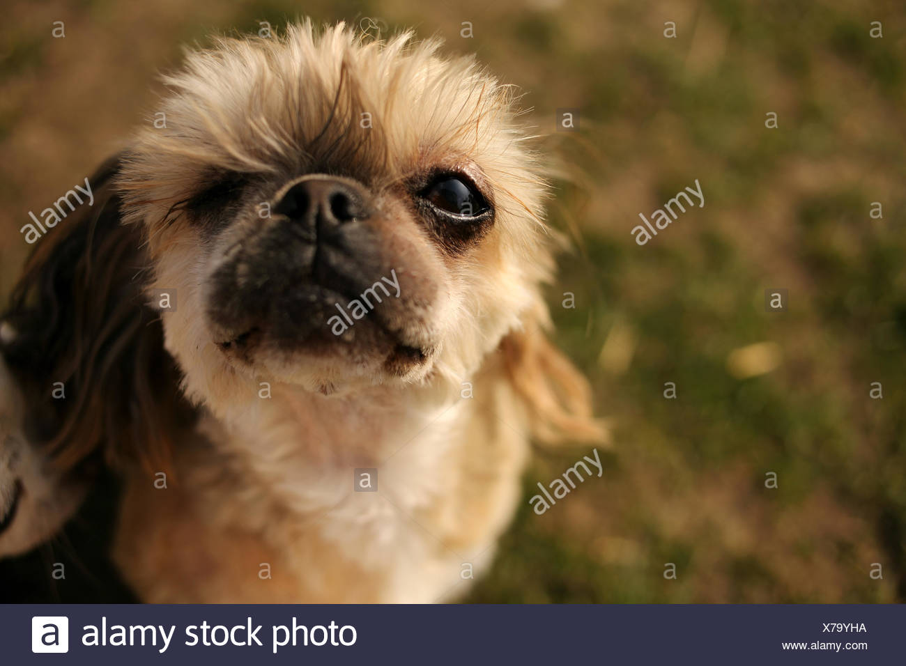 Portrait Of A Shih Tzu Rescue Dog With One Eye Stock Photo