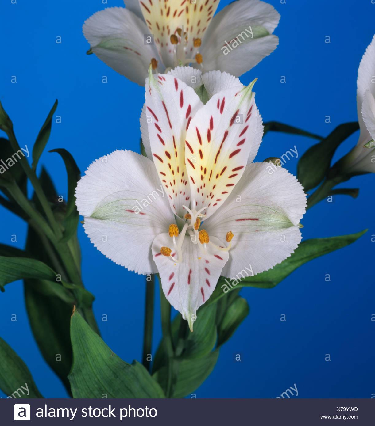 Flower of a peruvian lily alstroemeria spp portrait stock photo flower of a peruvian lily alstroemeria spp portrait izmirmasajfo