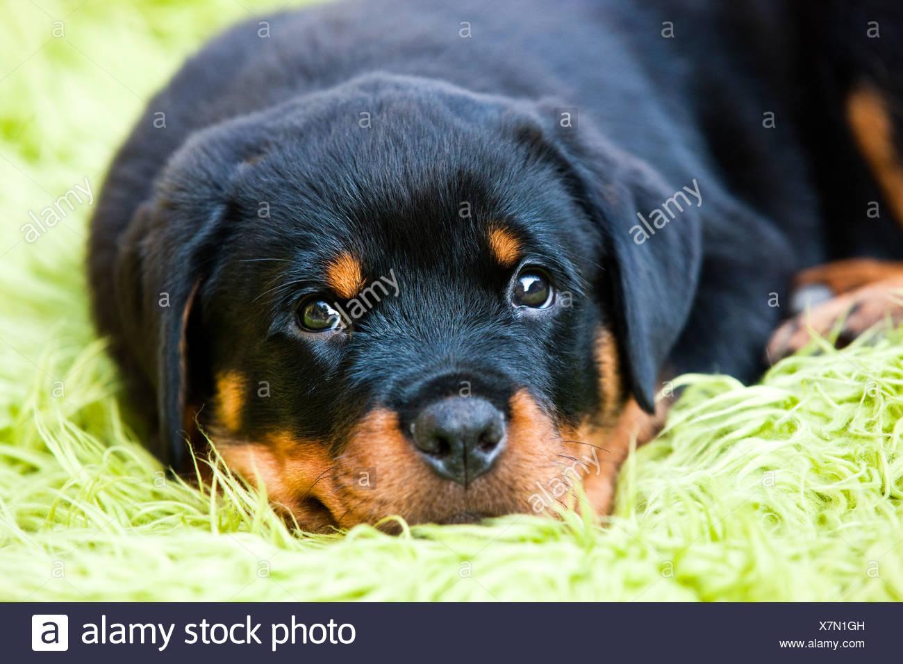 Rottweiler Puppy Dog Lying In A Dog Bed North Tyrol Austria
