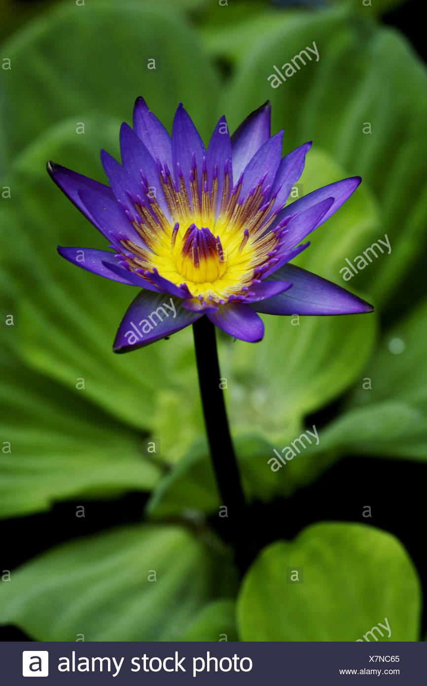 Egyptian Lotus Blue Lotus Of The Nile Blue Water Lily Nymphaea