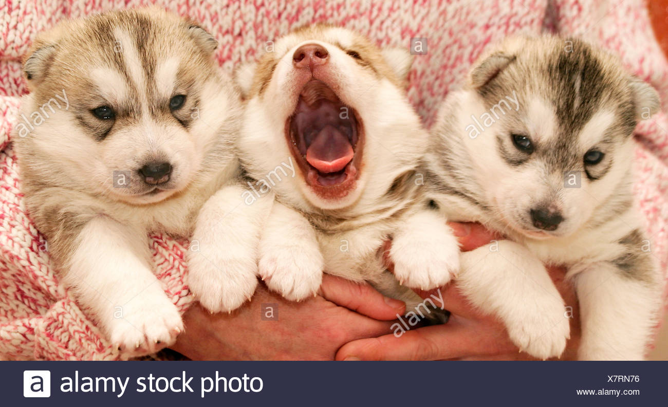husky puppys stock photo 280190042 alamy