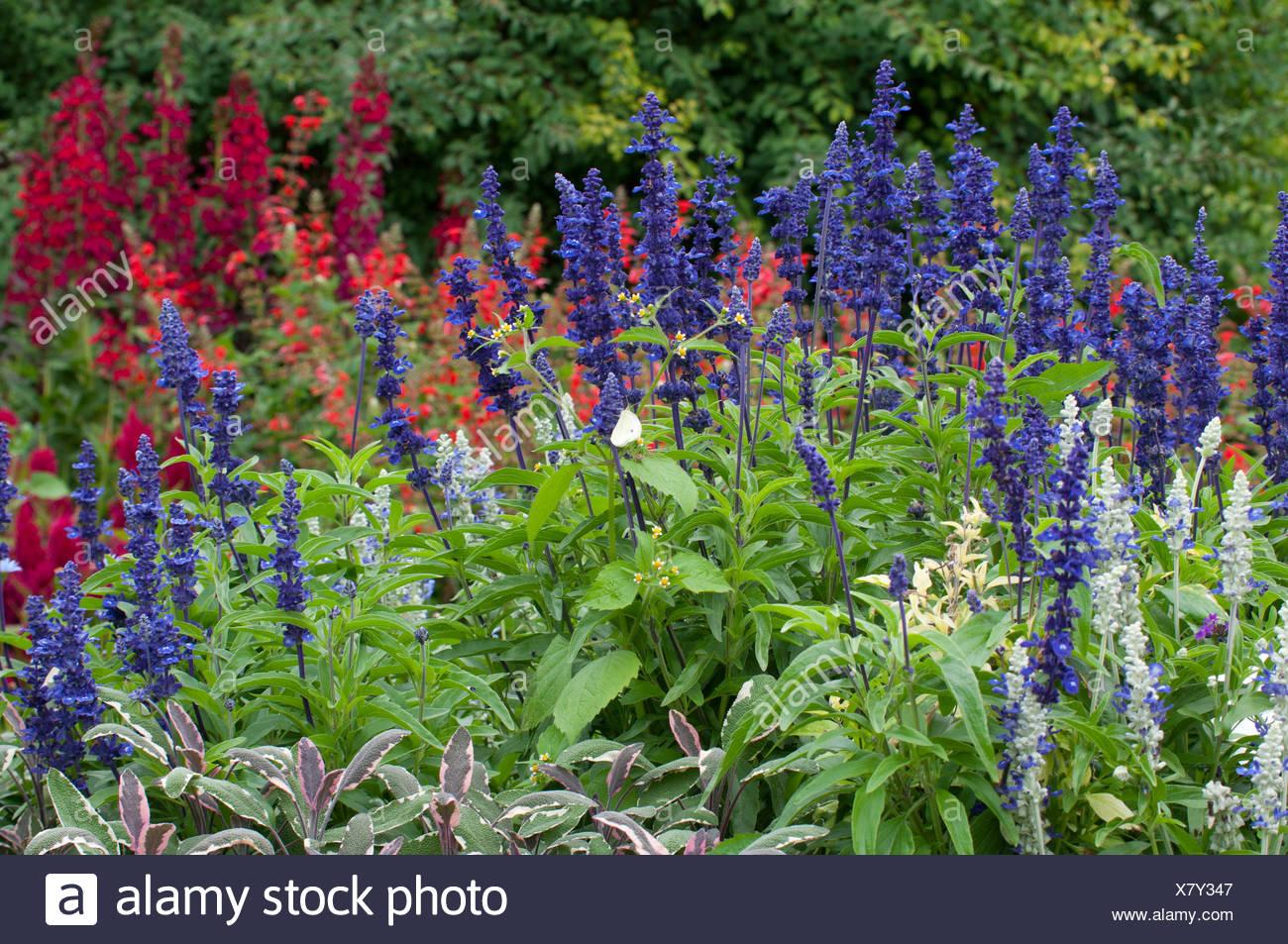 Salvia farinacea victoria stock photos salvia farinacea for Plante bleue