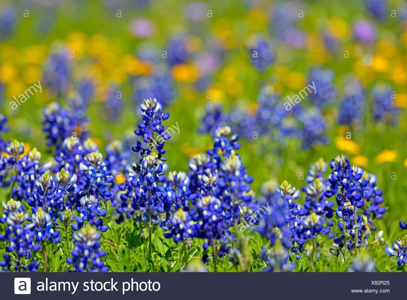 Bluebonnet New Braunfels >> Texas Bluebonnet Lupinus Texensis New Braunfels Texas Usa Stock