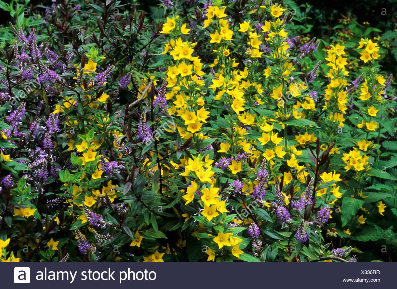 Yellow Purple Colour Flower Combination Hebe Lysimachia Punctata