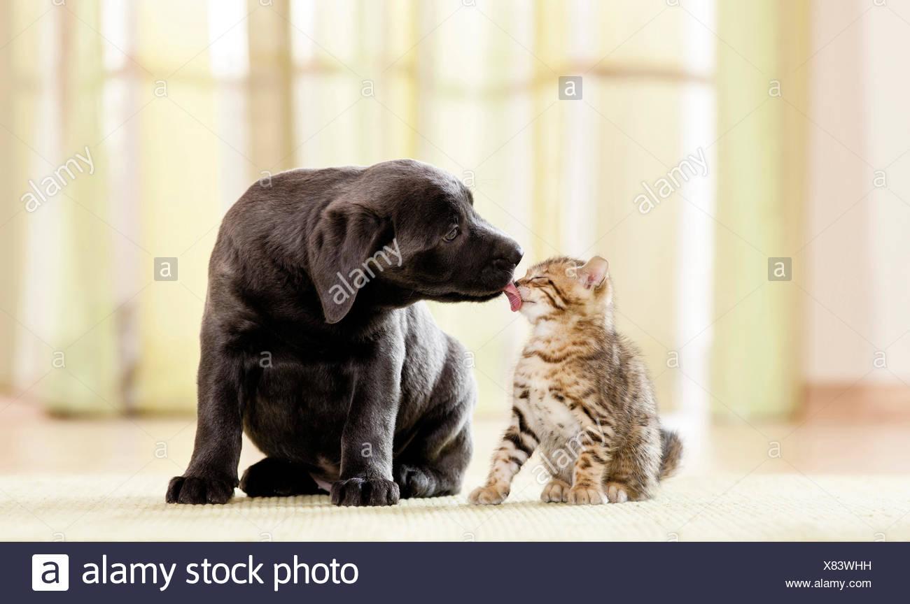 Labrador Retriever Bengal Cat Puppy Kitten Next Each Other Puppy