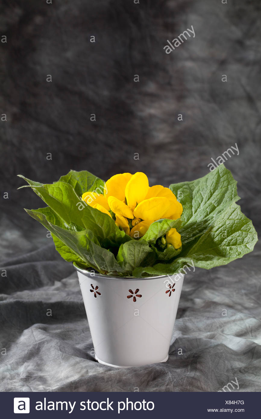 Yellow Slipper Flowers In Pot On Grey Background Close Up Stock