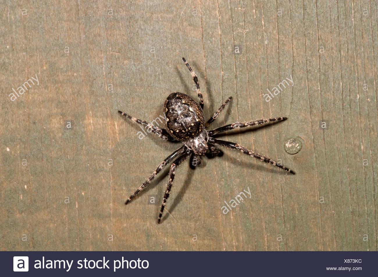 Walnut Orb Weaver Spider nuctenea umbratica nocturnat on fence panel ...