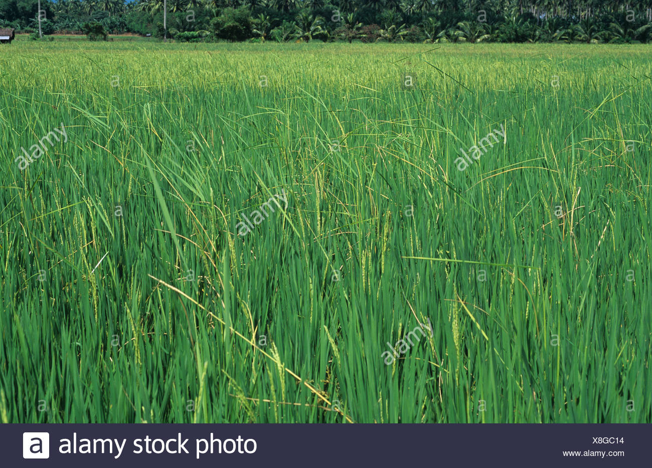 the foolish seedling disease The novel qtls identified in this study are useful resource for efficiently breeding rice cultivars resistant to bakanae disease  foolish seedling disease pops.