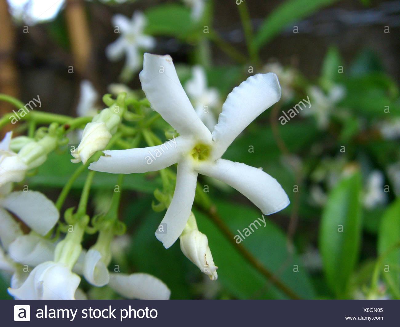 Star Jasmine Trachelospermum Jasminoides Flower Stock Photo