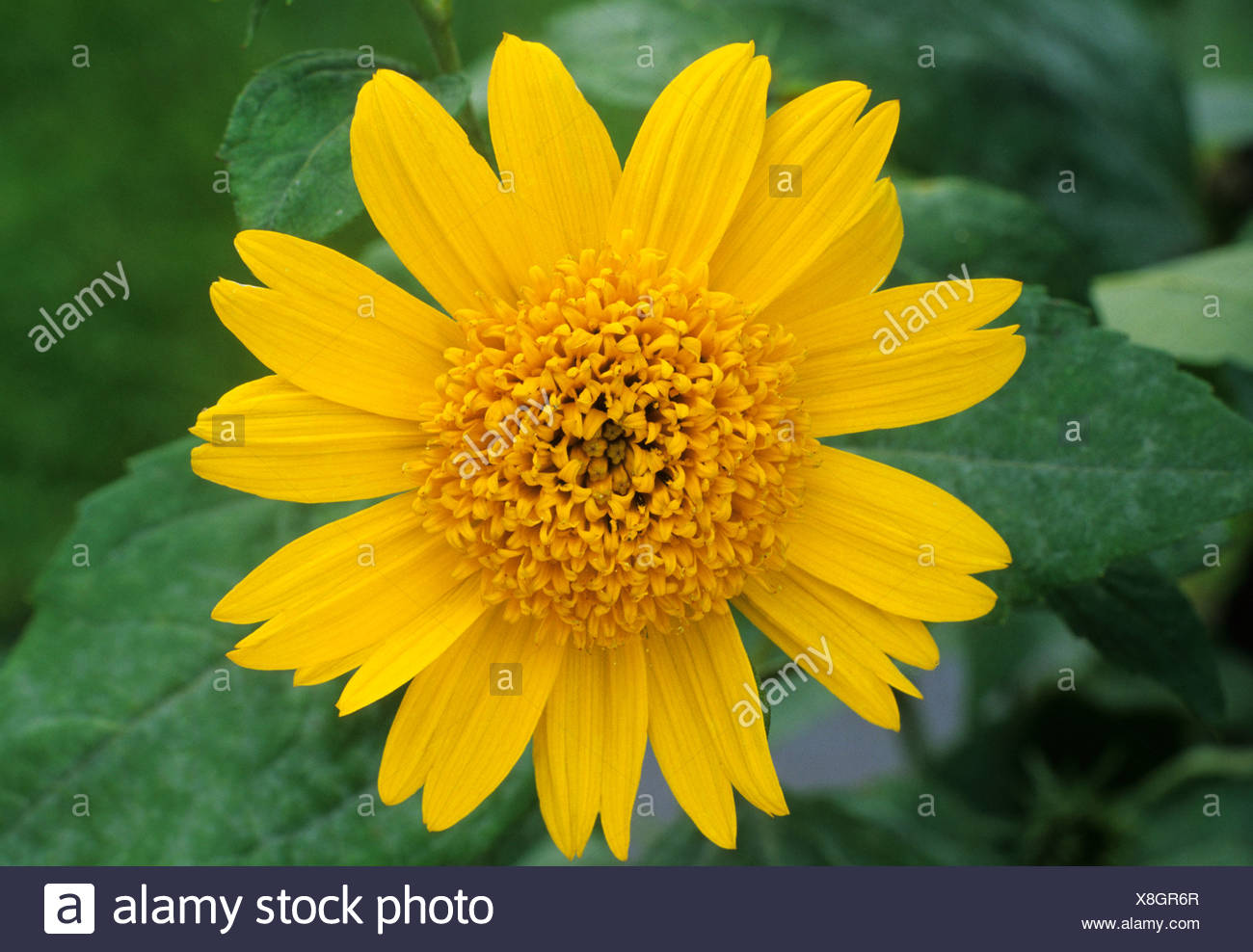 Helianthus Meteor Yellow Flower Flowers Garden Plant Plants Stock