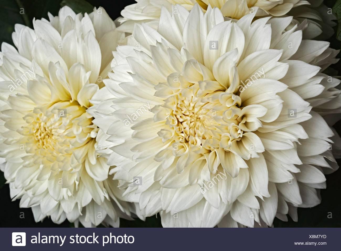 Dahlia flower dahlia x cultorum close up image of two white dahlia flower dahlia x cultorum close up image of two white flowers izmirmasajfo