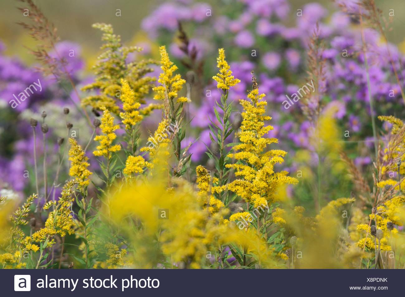 Fall flowers near hooppole illinois usa meadow nature flowers fall flowers near hooppole illinois usa meadow nature flowers colorful yellow purple wild flowers close up detail america north mightylinksfo