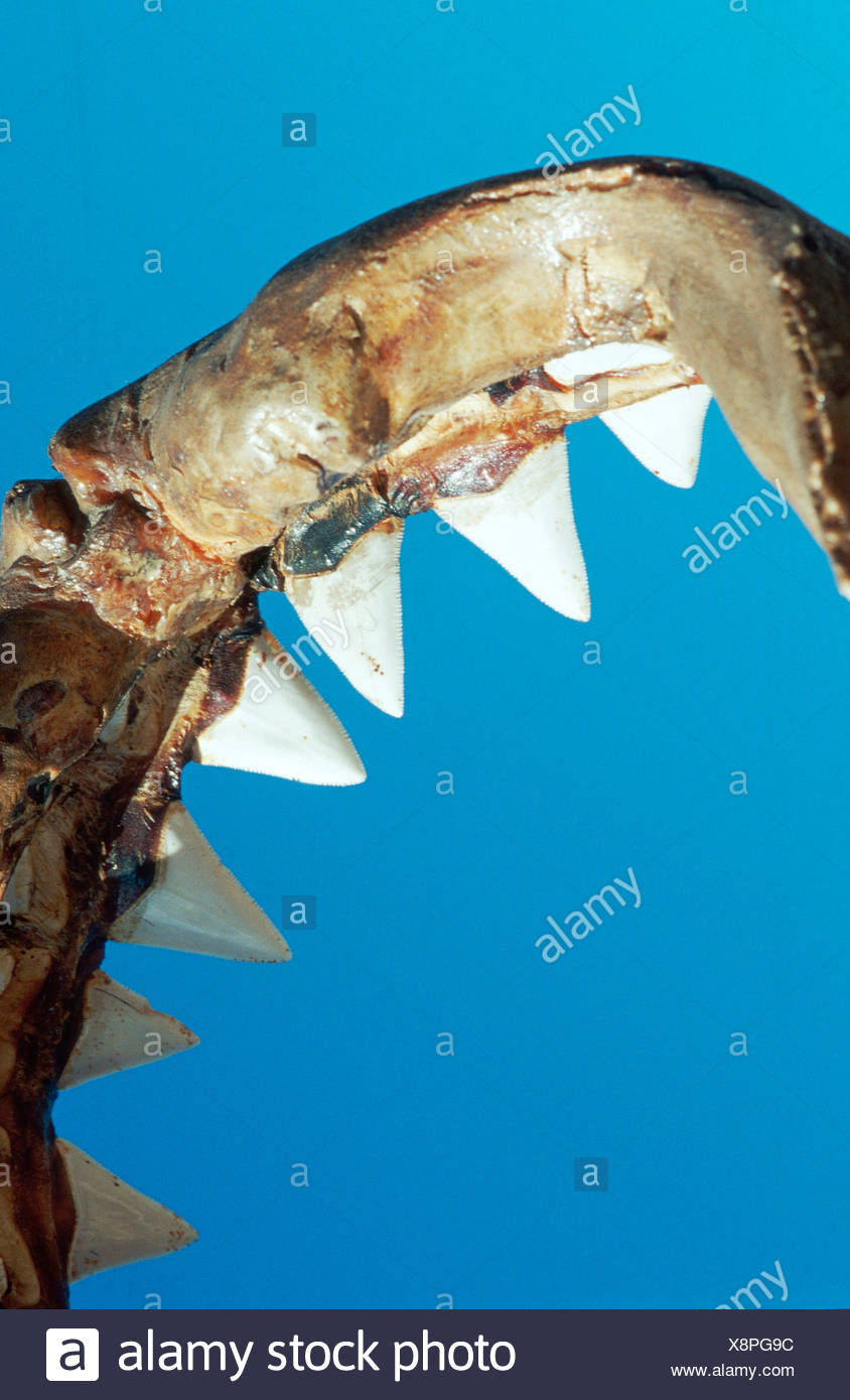 great white shark white pointer weisser hai menschenhai stock