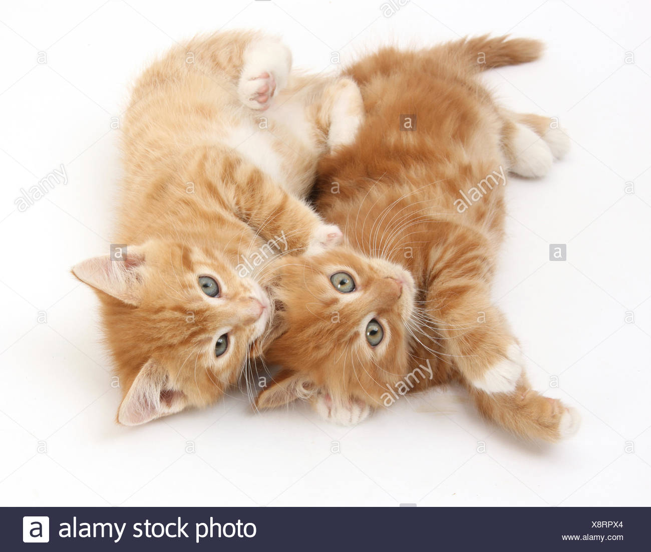 two ginger kittens rolling playfully on their sides stock photo