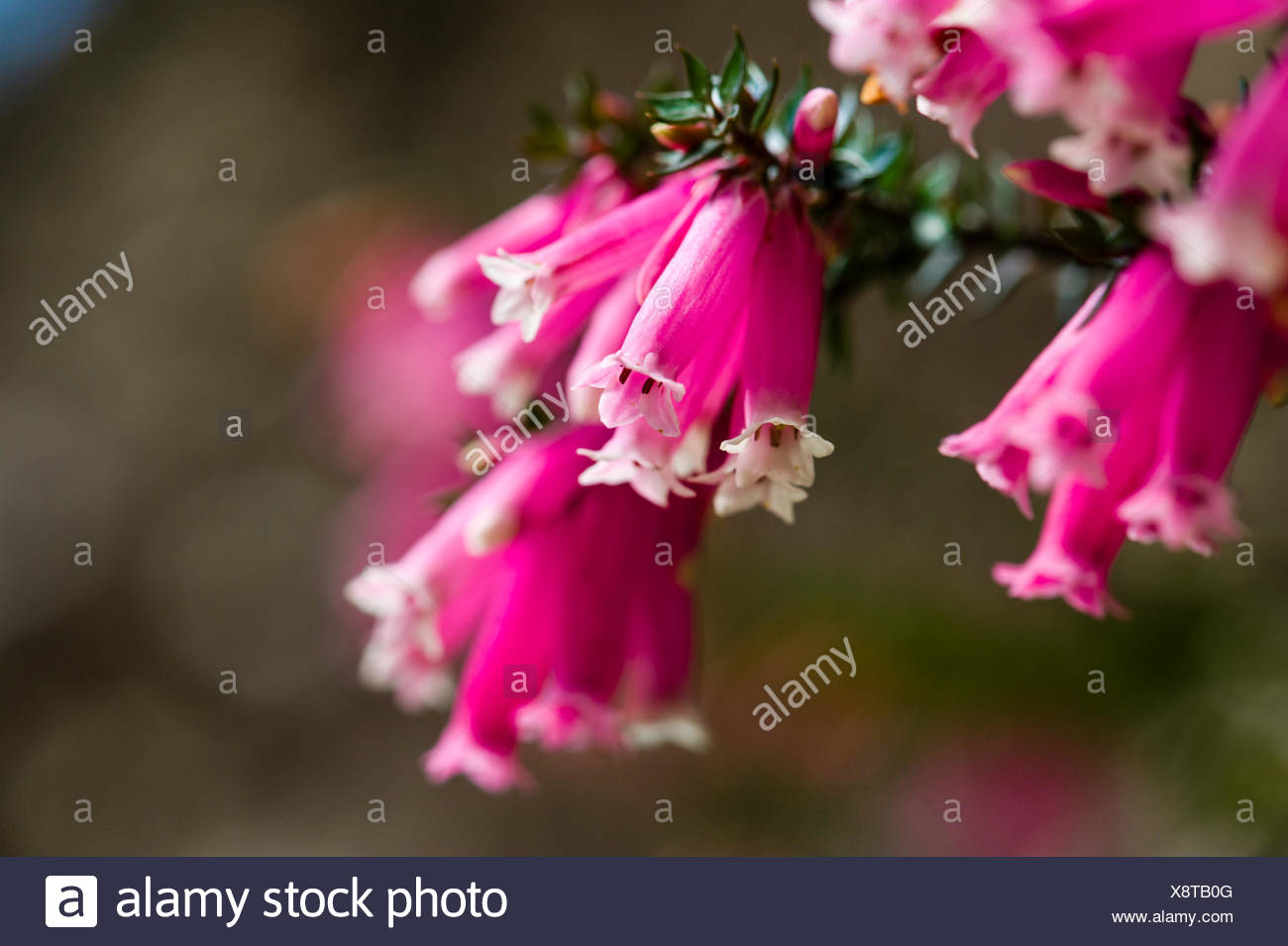 The Delicate Pink Petals Of A Fuchsia Heath Flower Stock Photo
