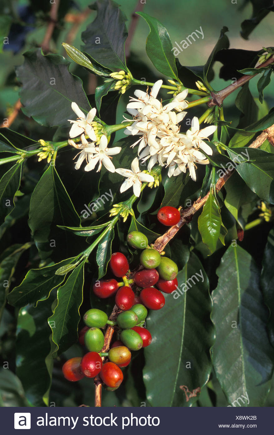 Kona Coffee Plantclose Up Of Beans Red Green With White Flowers