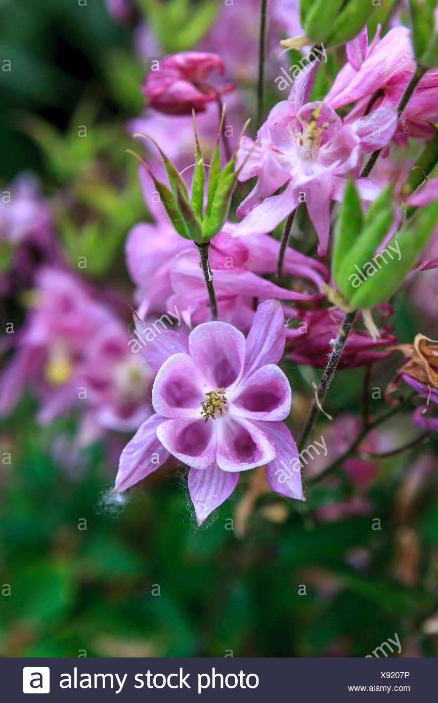 Close Up Image Of Pretty Pink Columbine Flowers Stock Photo