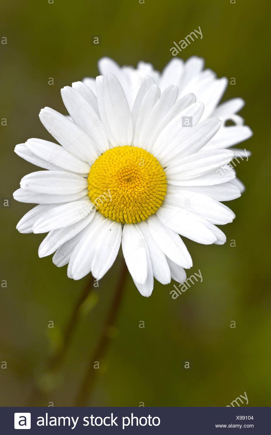 Oxeye daisy chrysanthemum leucanthemum leucanthemum vulgare oxeye daisy chrysanthemum leucanthemum leucanthemum vulgare flower germany schleswig holstein izmirmasajfo