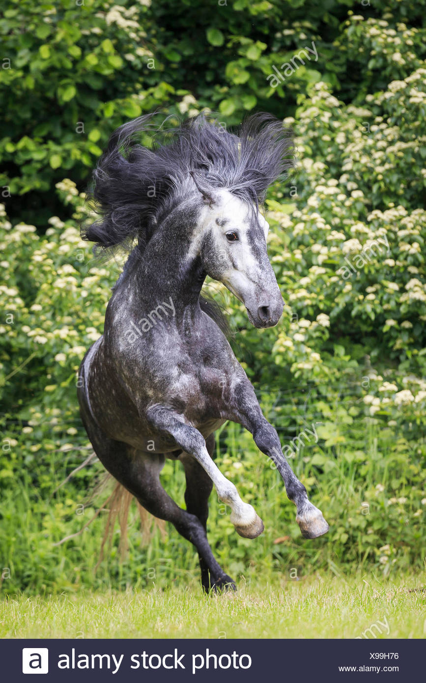 pure spanish horse andalusian gray stallion leaping pasture austria