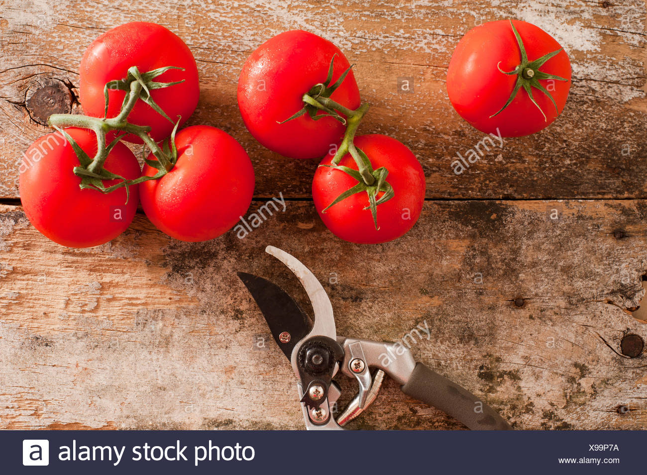 Garden fresh ripe red tomatoes picked from the vine lying on an old ...