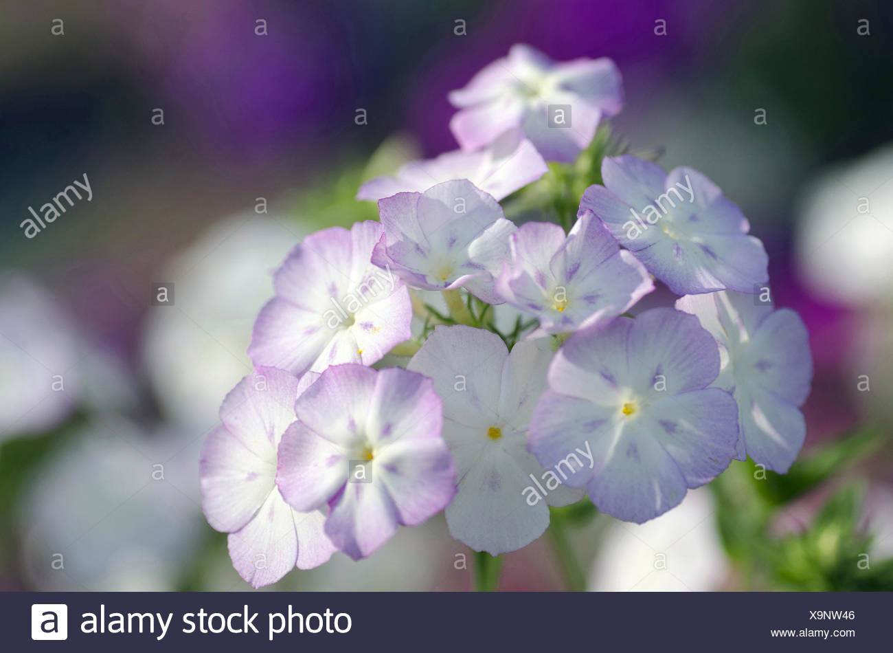 A Bunch Of Small Blue And White Flowers Harish Chandra Research