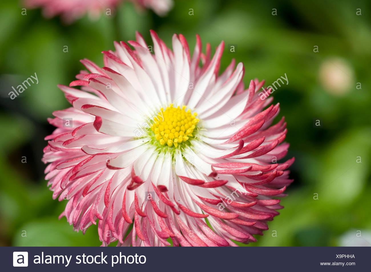 Pink english daisy flower stock photo 281394550 alamy pink english daisy flower izmirmasajfo