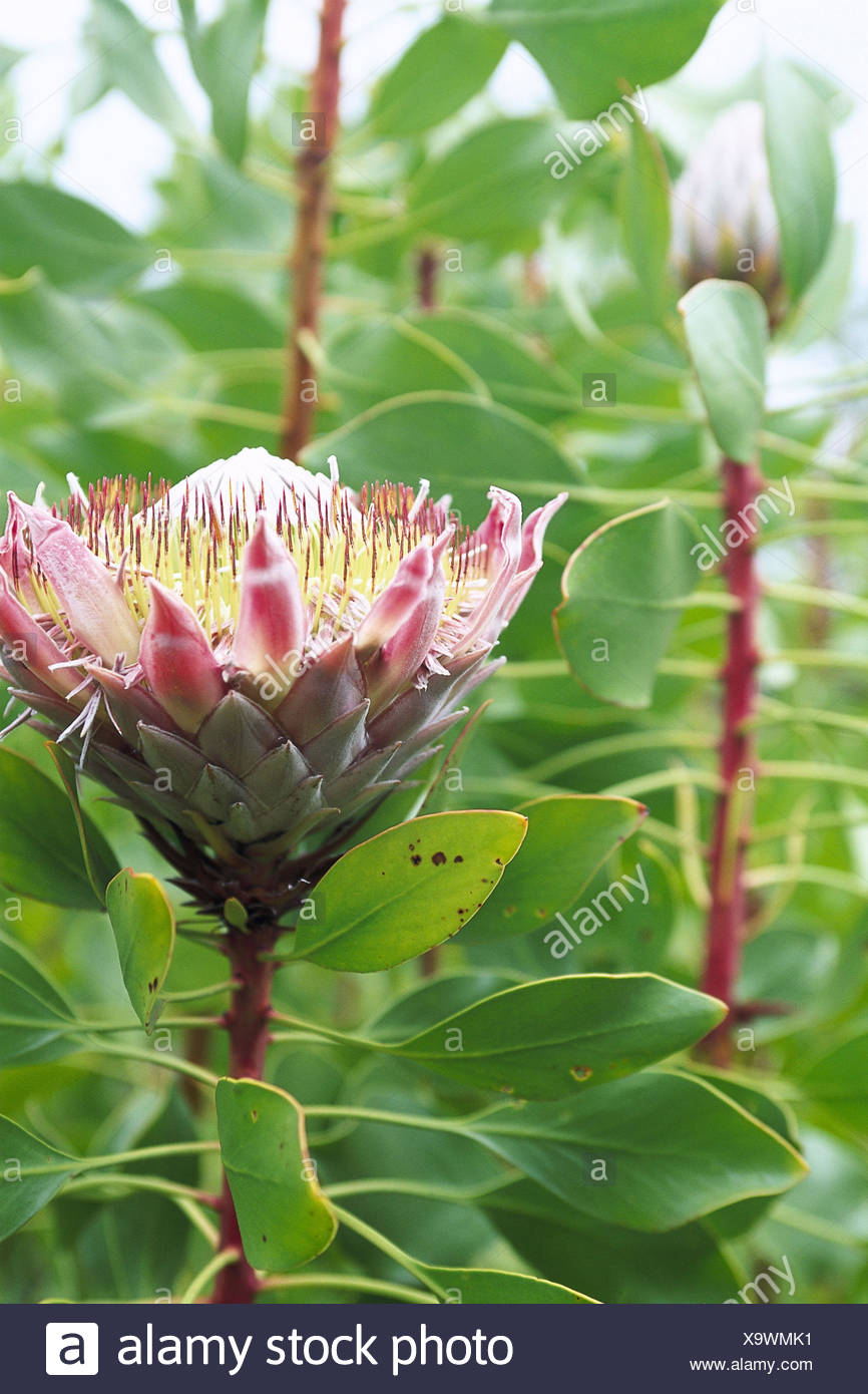 The usa hawaii island maui protease protea spec detail the usa hawaii island maui protease protea spec detail blossom the united states america federal state the hawaiian islands hawaiian iceland izmirmasajfo