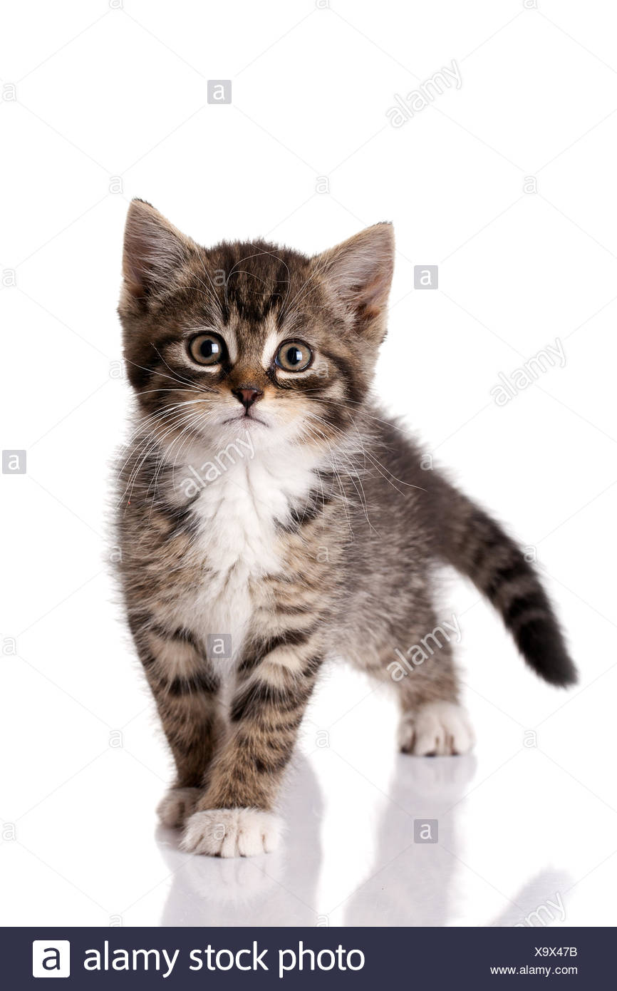 Isolated Animal Pets Small Tiny Little Short Cat Baby Kitten Pussycat Cat
