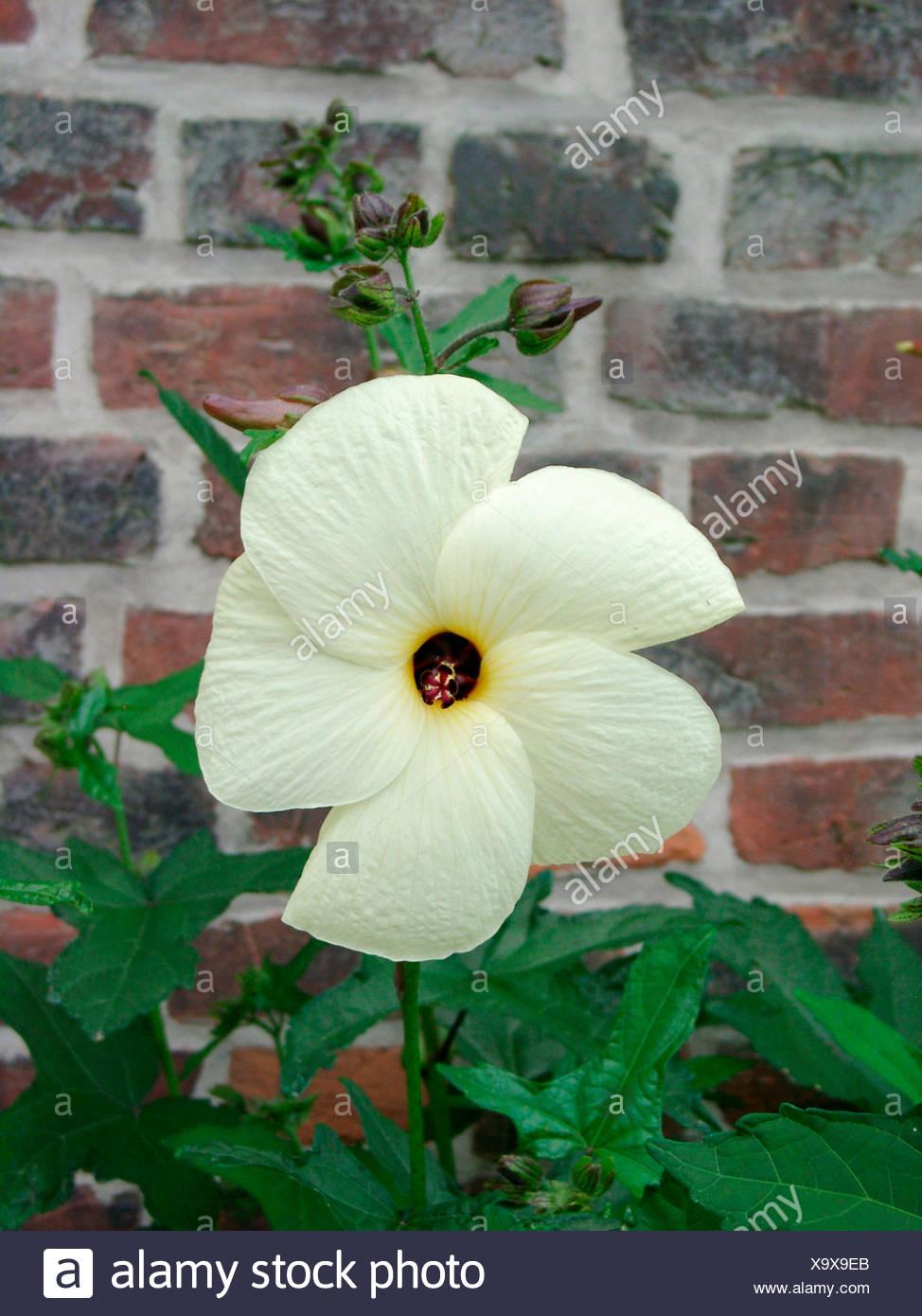 Abelmoschus Manihot Edible Hibiscus Stock Photo 281476003 Alamy