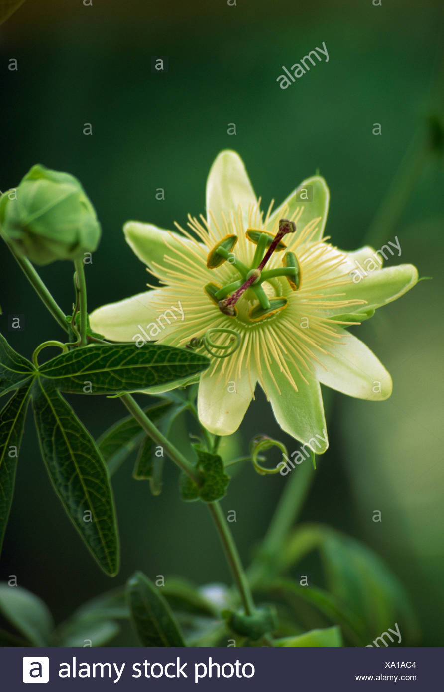 Close Up Of Single Bloom Of Yellow Passion Flower Stock Photo