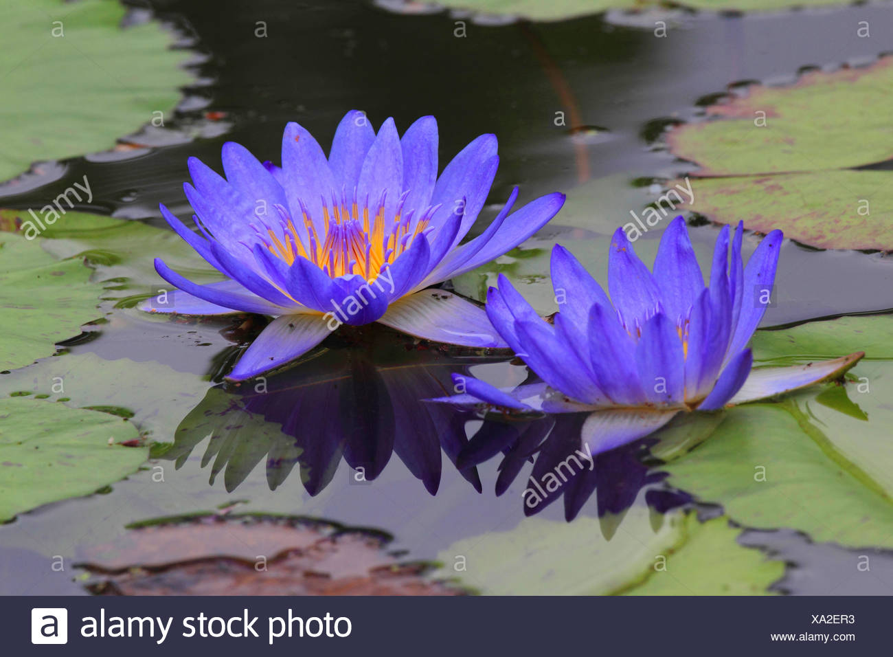Water Lily Pond Lily Nymphaea Spec With Blue Flowers Stock