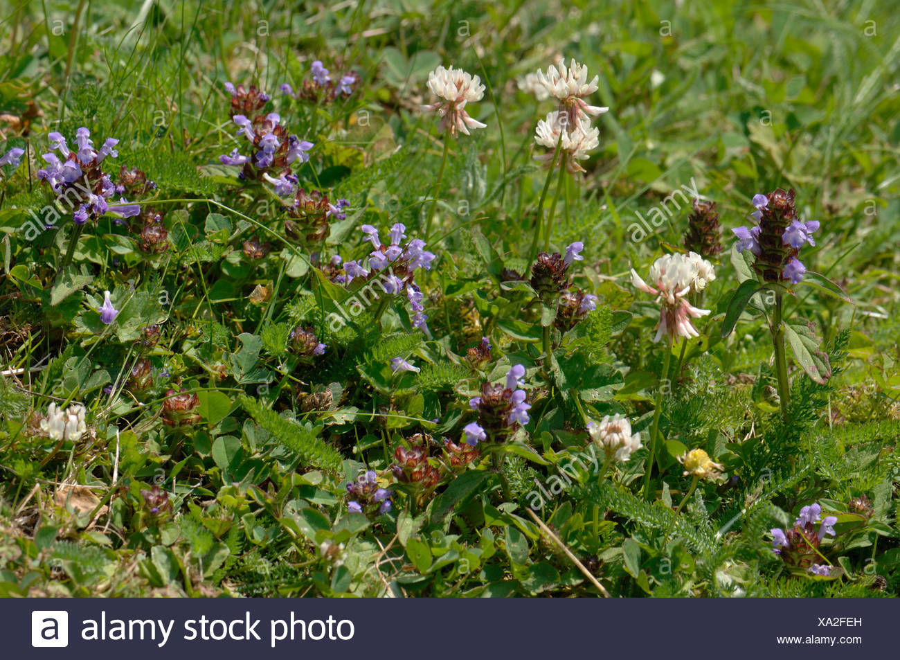 Self Heal And White Clover Flowering In A Garden Lawn In Summer