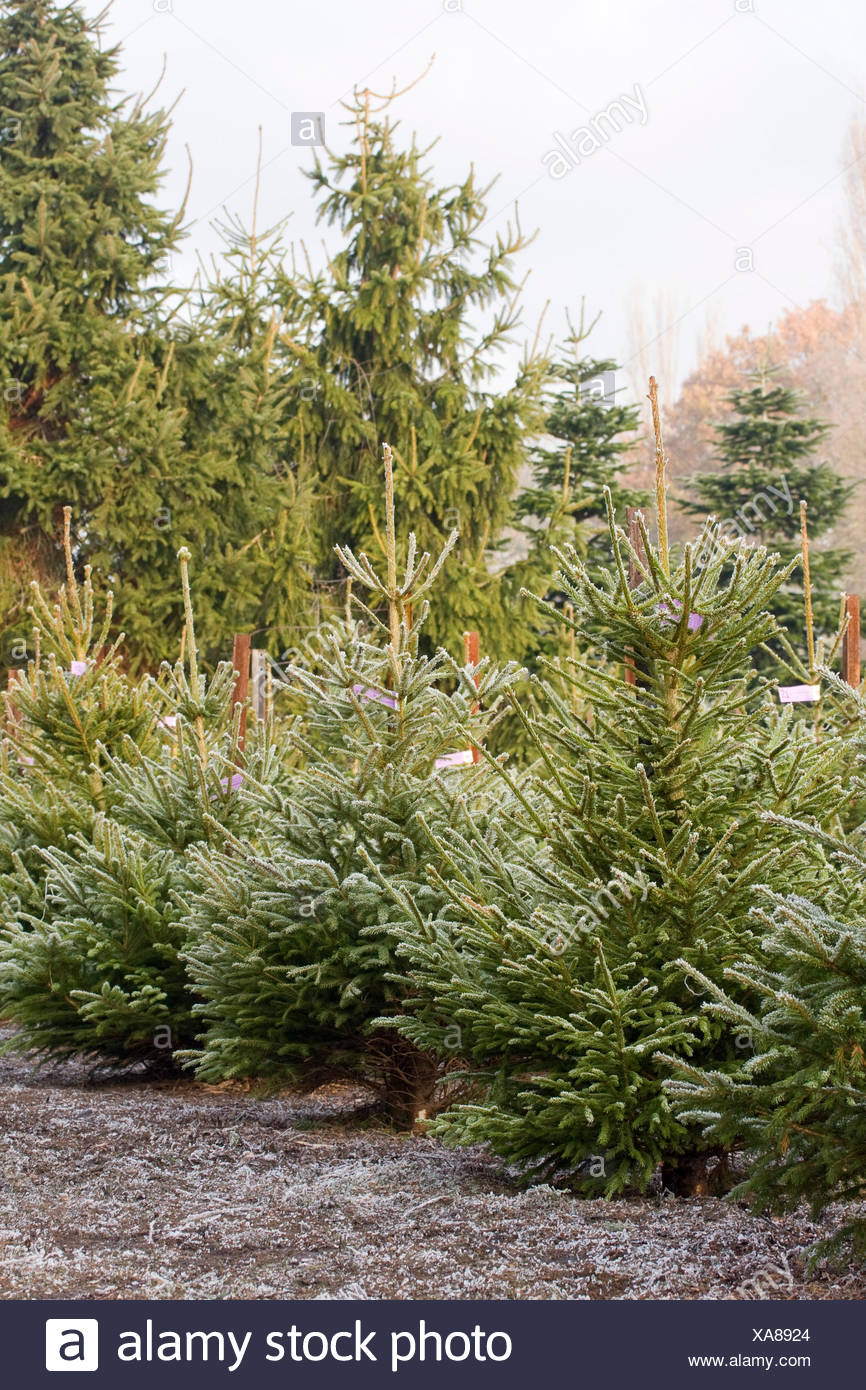 PICEA ABIES (Norway Spruce) THE CHRISTMAS TREE FARM HAWKWELL Stock ...