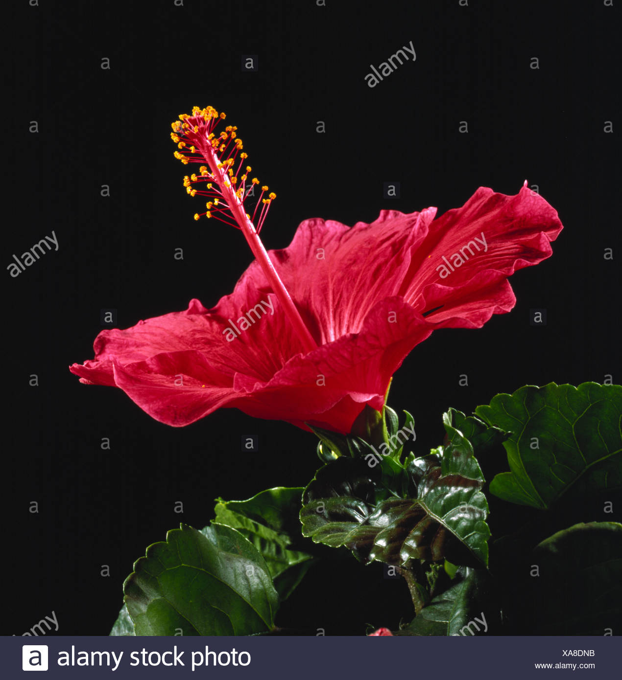 A red hibiscus spp flower showing style stigma and stamens flower a red hibiscus spp flower showing style stigma and stamens flower parts izmirmasajfo