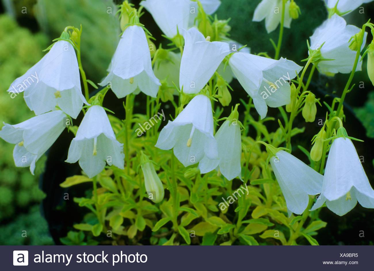 Campanula Cochlearifolia Var White Baby Bellflower White