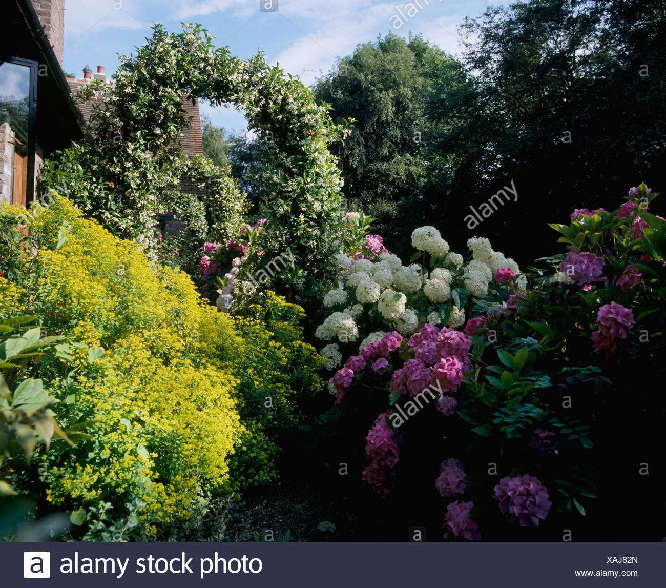 White And Pink Hydrangeas And Yellow Flowering Shrub In Country