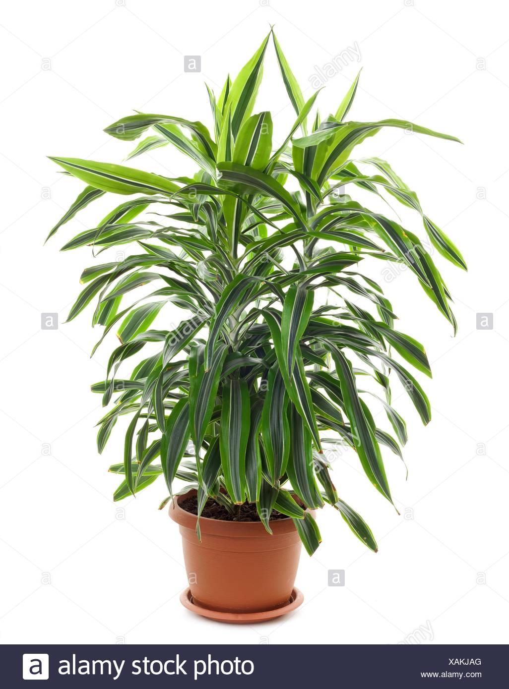 Chlorophytum evergreen perennial flowering plants in the family chlorophytum evergreen perennial flowering plants in the family asparagaceae mightylinksfo