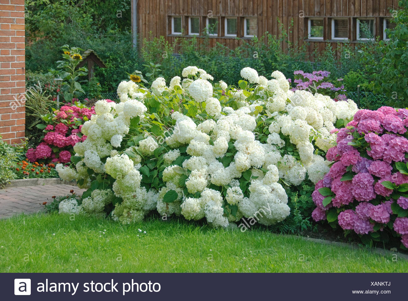 Wild Hydrangea Arborescens Annabelle Cultivar Together With Macrophylla