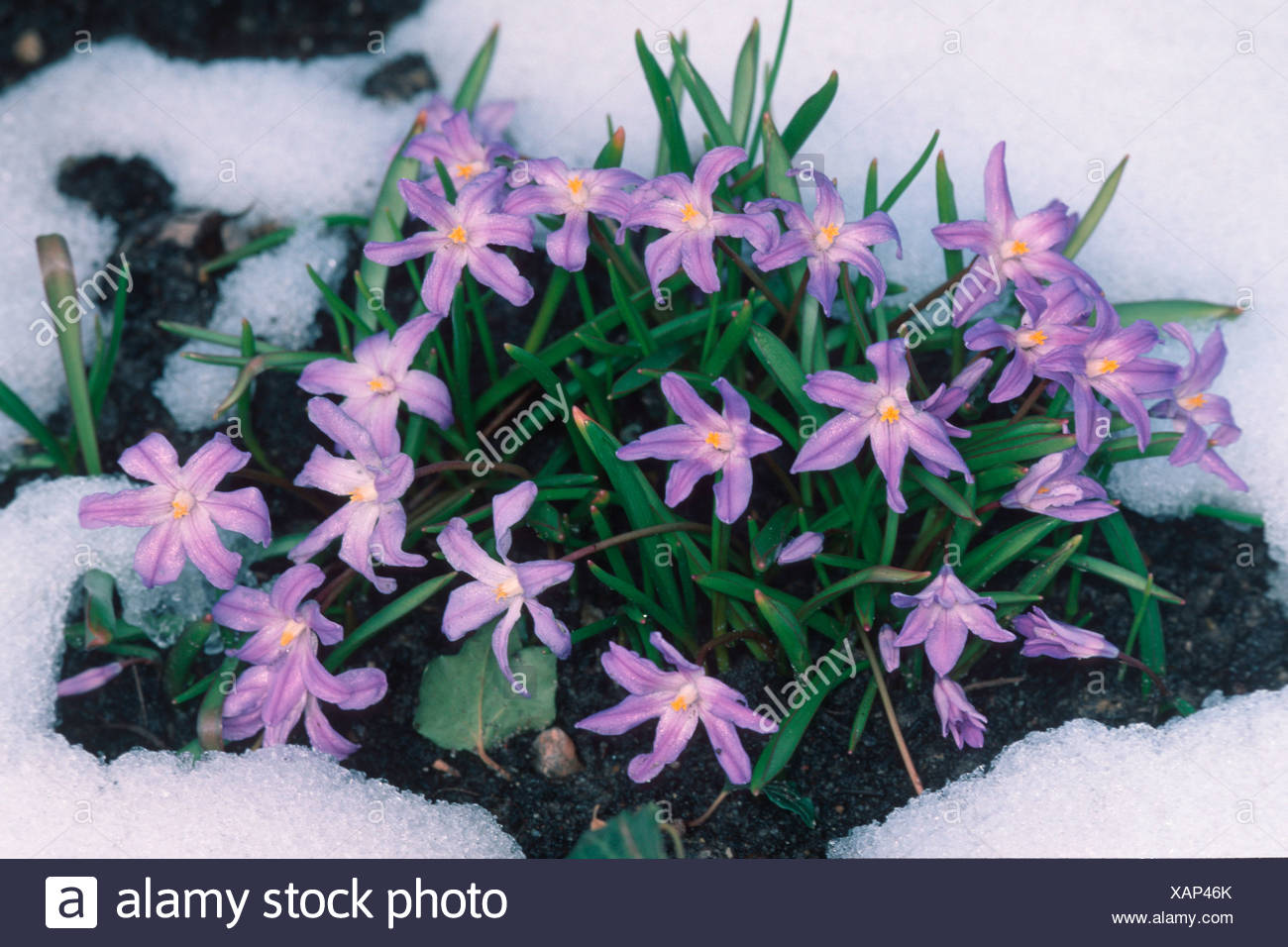 gartenpflanzen, glory of the snow chionodoxa luciliae schneestolz blumen flowers, Design ideen