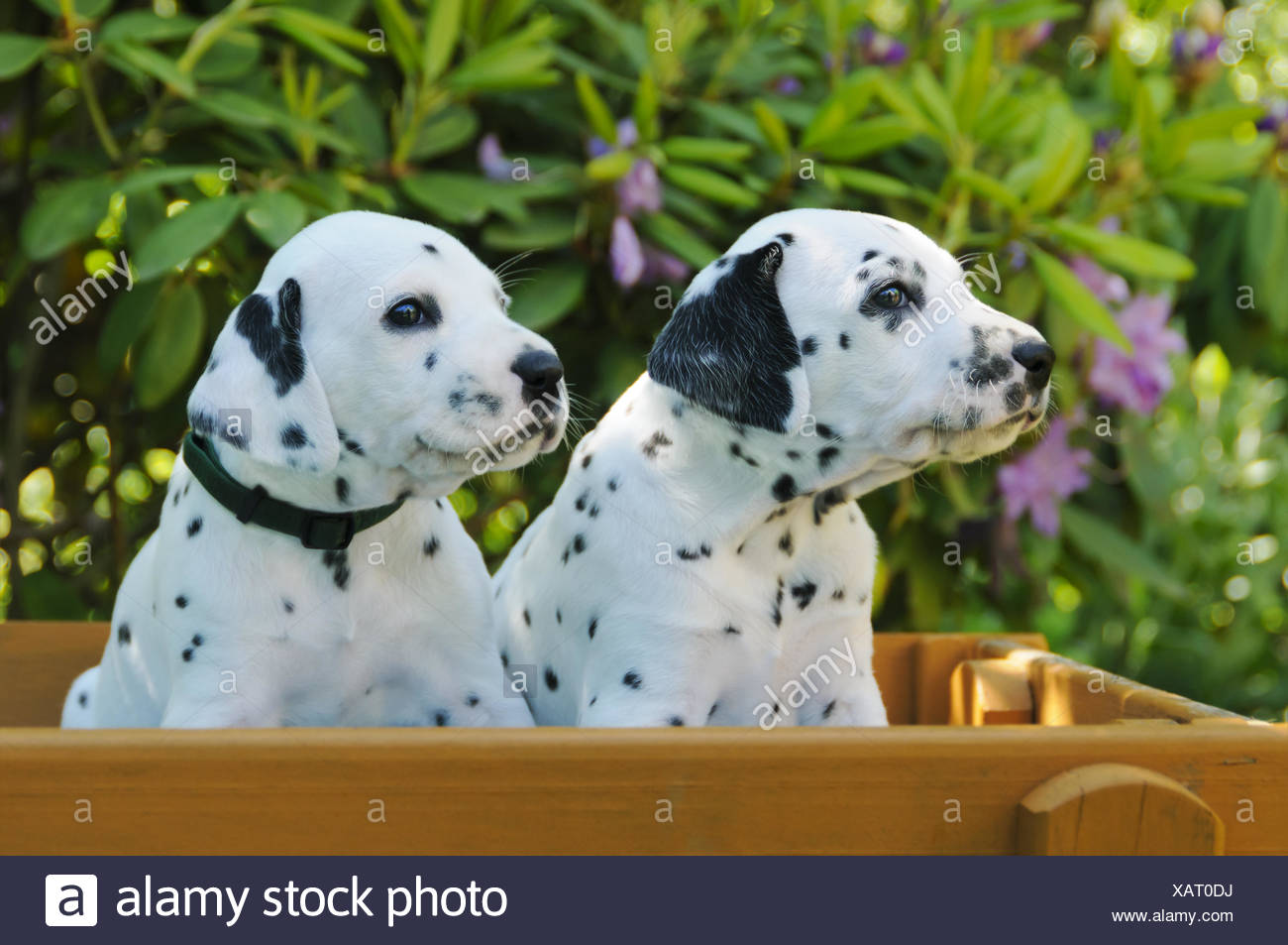 Two Dalmatian Puppies Five Weeks Old Side By Side Stock Photo
