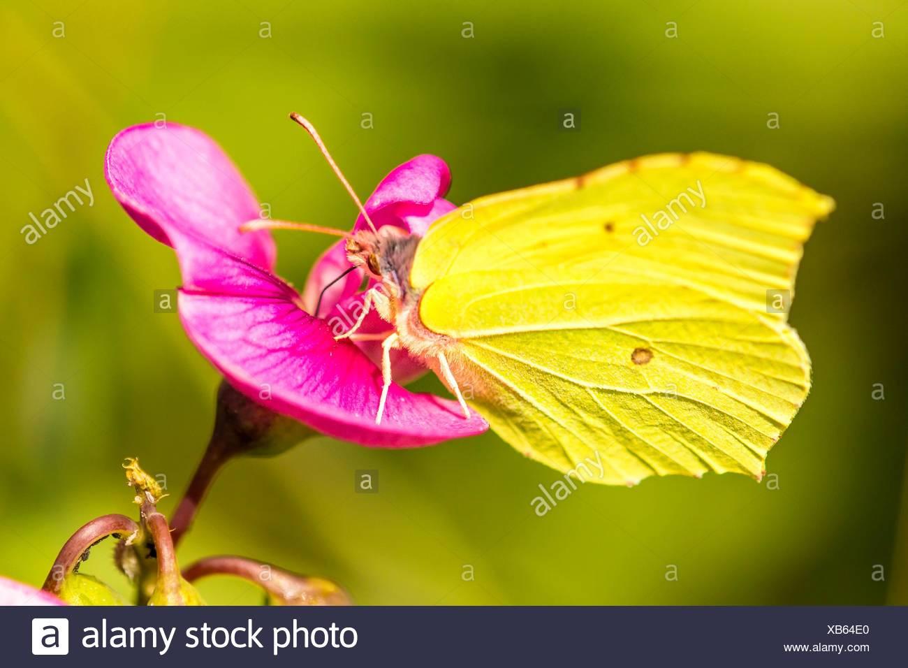 Lotus Flower Sudburyllow Vetch Stock Photos Yellow Vetch Stock