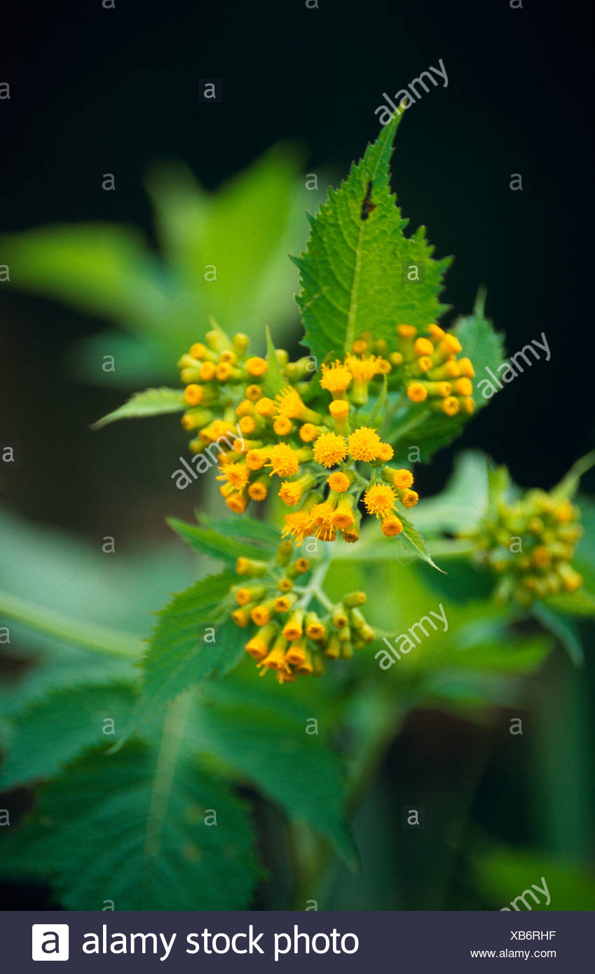 Delicate Bright Yellow Flowers Cluster From A Small Shrub Stock