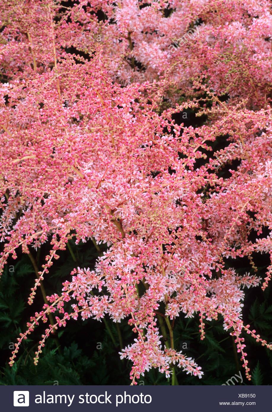 Astilbe Pink Lightening Syn Lightning Pink Flowers Garden